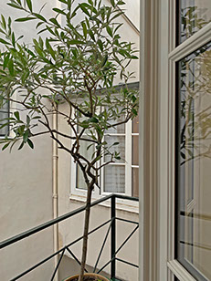 Olive tree on small balcony.  Bathroom window.